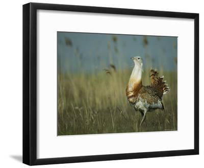 Prairie Chicken Strutting Through a Field of Tall Grass-Klaus Nigge-Framed Photographic Print