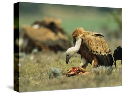 Griffon Vultures Eating as a Crow Watches Nearby-Klaus Nigge-Stretched Canvas Print