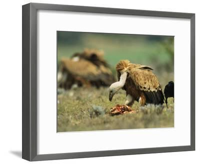 Griffon Vultures Eating as a Crow Watches Nearby-Klaus Nigge-Framed Photographic Print
