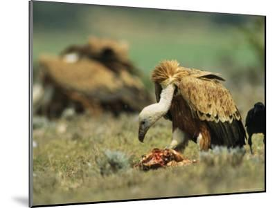 Griffon Vultures Eating as a Crow Watches Nearby-Klaus Nigge-Mounted Photographic Print