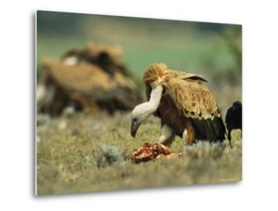 Griffon Vultures Eating as a Crow Watches Nearby-Klaus Nigge-Metal Print
