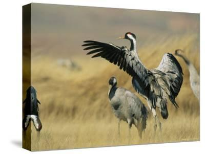 Common Cranes on a Grassland-Klaus Nigge-Stretched Canvas Print