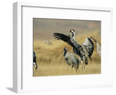 Common Cranes on a Grassland-Klaus Nigge-Framed Photographic Print