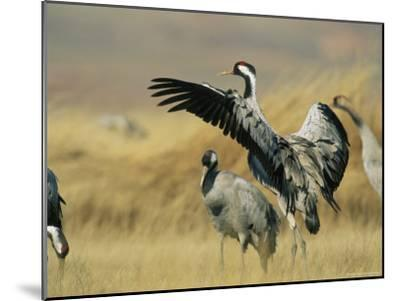 Common Cranes on a Grassland-Klaus Nigge-Mounted Photographic Print