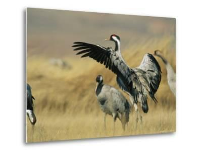 Common Cranes on a Grassland-Klaus Nigge-Metal Print