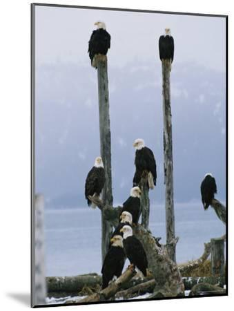 Eagles Perch on Wooden Posts-Klaus Nigge-Mounted Photographic Print