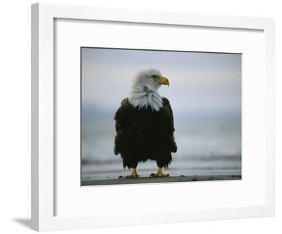 Wind Ruffles the Feathers of an American Bald Eagle--Framed Photographic Print