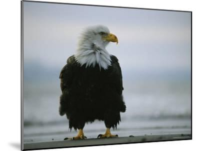 Wind Ruffles the Feathers of an American Bald Eagle--Mounted Photographic Print