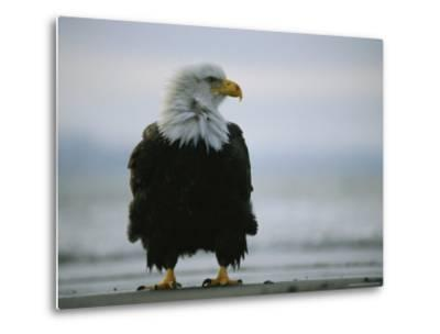 Wind Ruffles the Feathers of an American Bald Eagle--Metal Print