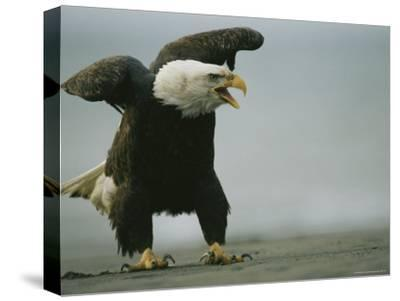 Vocalizing American Bald Eagle--Stretched Canvas Print