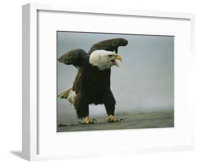 Vocalizing American Bald Eagle--Framed Photographic Print