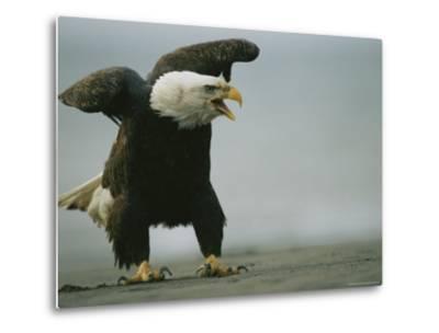 Vocalizing American Bald Eagle--Metal Print