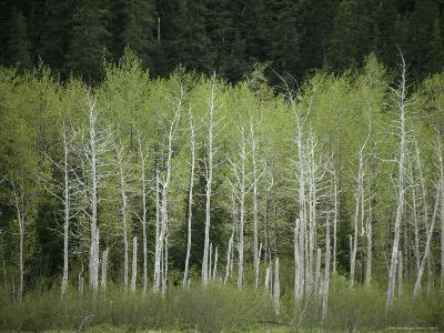 Woodland View in Alaska-Klaus Nigge-Photographic Print