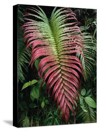 Large and Striking Red-Tipped Fern Frond-Tim Laman-Stretched Canvas Print