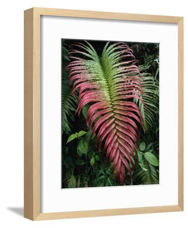 Large and Striking Red-Tipped Fern Frond-Tim Laman-Framed Photographic Print
