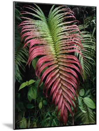 Large and Striking Red-Tipped Fern Frond-Tim Laman-Mounted Photographic Print
