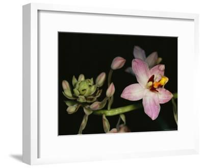Orchid in Bloom with Ants Crawling over a Closed Blossom-Tim Laman-Framed Photographic Print