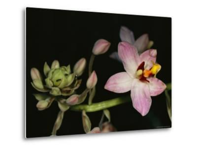 Orchid in Bloom with Ants Crawling over a Closed Blossom-Tim Laman-Metal Print