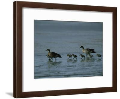 Family of Ducks on a Mud Flat on the Edge of a Saline Lake-Joel Sartore-Framed Photographic Print