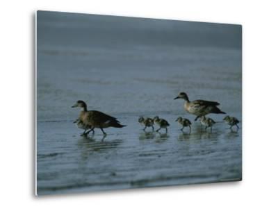 Family of Ducks on a Mud Flat on the Edge of a Saline Lake-Joel Sartore-Metal Print