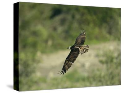 Osprey in Flight-Klaus Nigge-Stretched Canvas Print