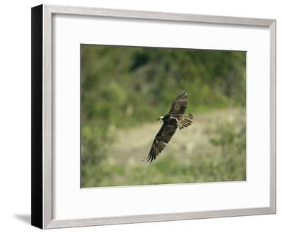 Osprey in Flight-Klaus Nigge-Framed Photographic Print