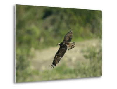 Osprey in Flight-Klaus Nigge-Metal Print