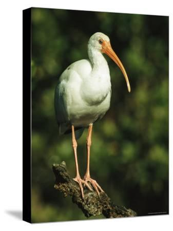 White Ibis Perches on a Tree Branch on Floridas Gulf Coast-Klaus Nigge-Stretched Canvas Print