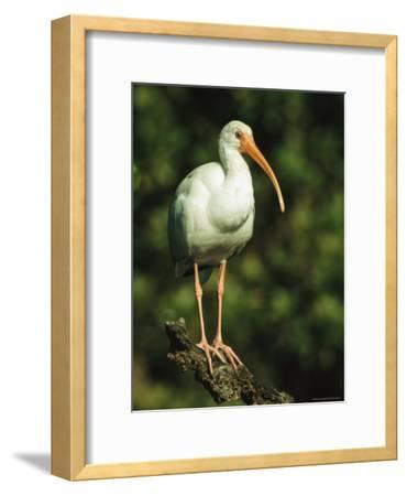 White Ibis Perches on a Tree Branch on Floridas Gulf Coast-Klaus Nigge-Framed Photographic Print