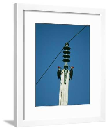 Pair of Pileated Woodpeckers on Floridas Gulf Coast-Klaus Nigge-Framed Photographic Print