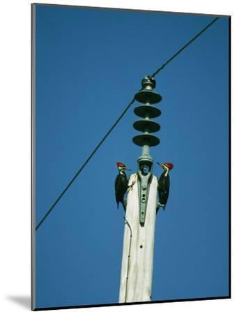 Pair of Pileated Woodpeckers on Floridas Gulf Coast-Klaus Nigge-Mounted Photographic Print