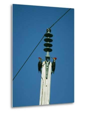 Pair of Pileated Woodpeckers on Floridas Gulf Coast-Klaus Nigge-Metal Print