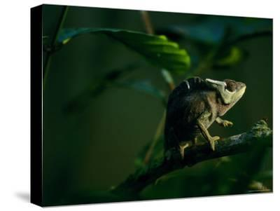 Chameleon Traversing a Thin Branch-Michael Nichols-Stretched Canvas Print