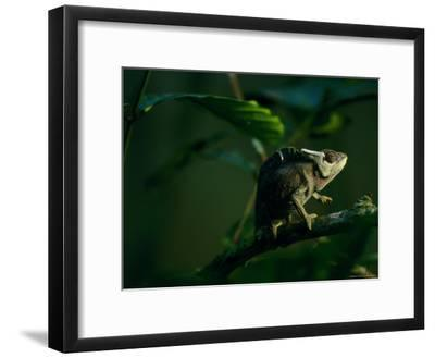 Chameleon Traversing a Thin Branch-Michael Nichols-Framed Photographic Print
