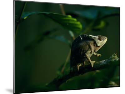 Chameleon Traversing a Thin Branch-Michael Nichols-Mounted Photographic Print