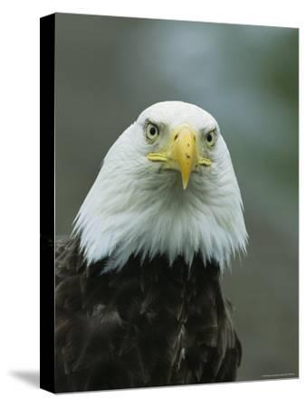 Close View of an American Bald Eagle-Tom Murphy-Stretched Canvas Print