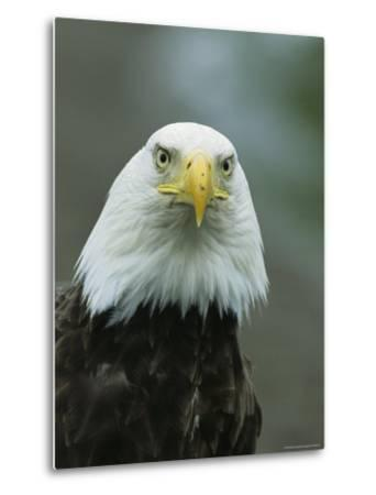 Close View of an American Bald Eagle-Tom Murphy-Metal Print