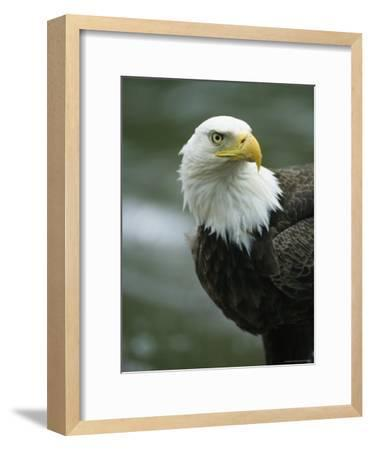 Close View of an American Bald Eagle-Tom Murphy-Framed Photographic Print