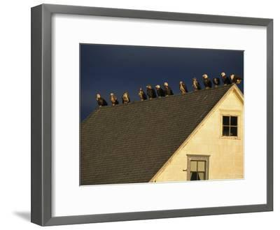 Row of American Bald Eagles Perched on a Rooftop-Tom Murphy-Framed Photographic Print