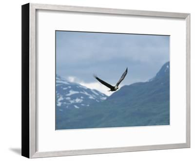 American Bald Eagle in Flight-Tom Murphy-Framed Photographic Print