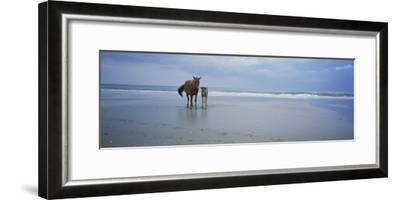 Wild Mare and Foal on the Beach North of Corolla-Stephen Alvarez-Framed Photographic Print
