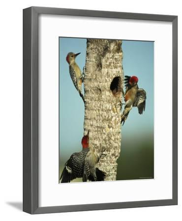 Trio of Red-Bellied Woodpeckers-Klaus Nigge-Framed Photographic Print