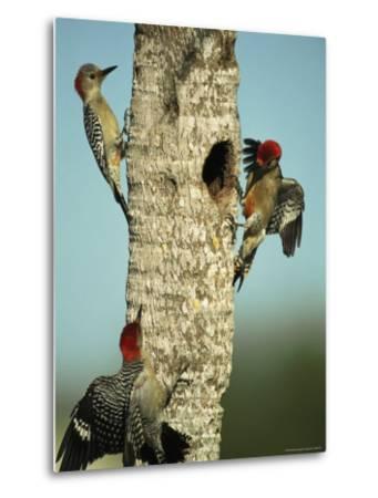 Trio of Red-Bellied Woodpeckers-Klaus Nigge-Metal Print