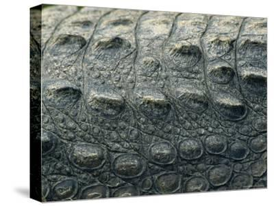 Close View of the Hide of an American Crocodile-Klaus Nigge-Stretched Canvas Print