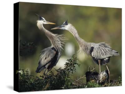 Pair of Great Blue Herons Stand Beside Their Nest-Klaus Nigge-Stretched Canvas Print