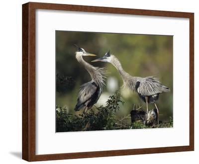 Pair of Great Blue Herons Stand Beside Their Nest-Klaus Nigge-Framed Photographic Print