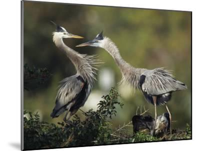 Pair of Great Blue Herons Stand Beside Their Nest-Klaus Nigge-Mounted Photographic Print