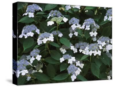 Lace Cap Hydrangea Flowers in Bloom-Darlyne A^ Murawski-Stretched Canvas Print