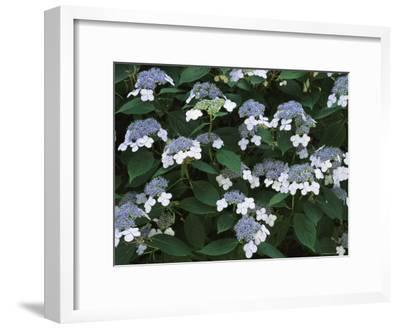 Lace Cap Hydrangea Flowers in Bloom-Darlyne A^ Murawski-Framed Photographic Print
