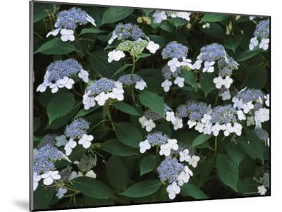 Lace Cap Hydrangea Flowers in Bloom-Darlyne A^ Murawski-Mounted Photographic Print
